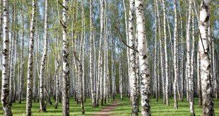 Bosque de abedules en el inicio de la primavera